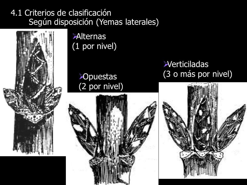 4.1 Criterios de clasificación Según disposición (Yemas laterales) Alternas (1 por nivel) Opuestas (2 por nivel) Verticiladas (3 o más por nivel)
