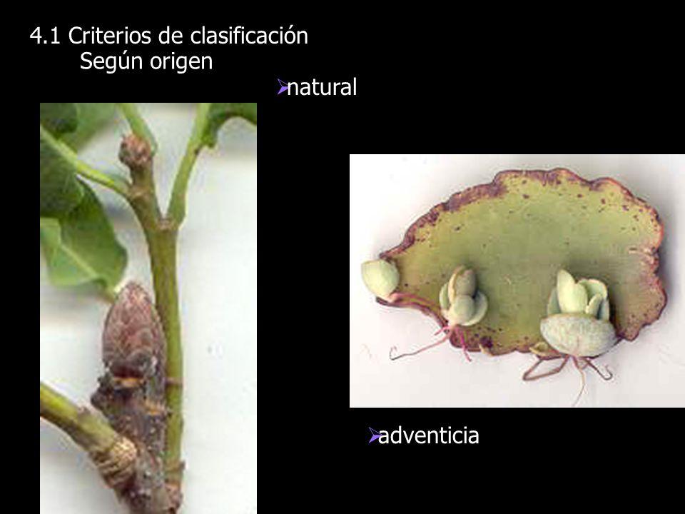 4.1 Criterios de clasificación Según origen natural adventicia