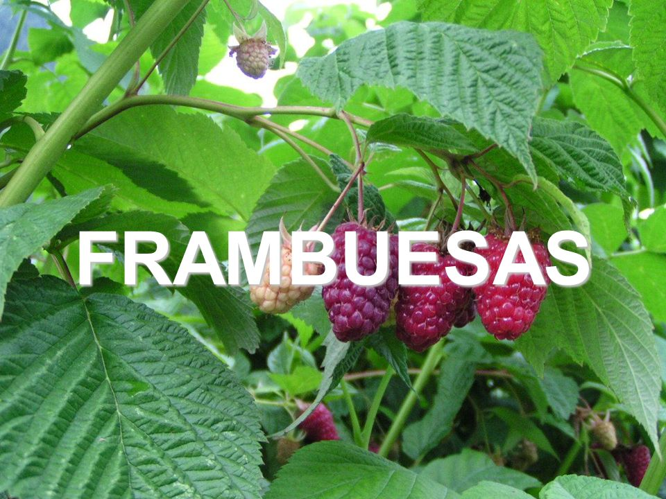 16 FRAMBUESAS