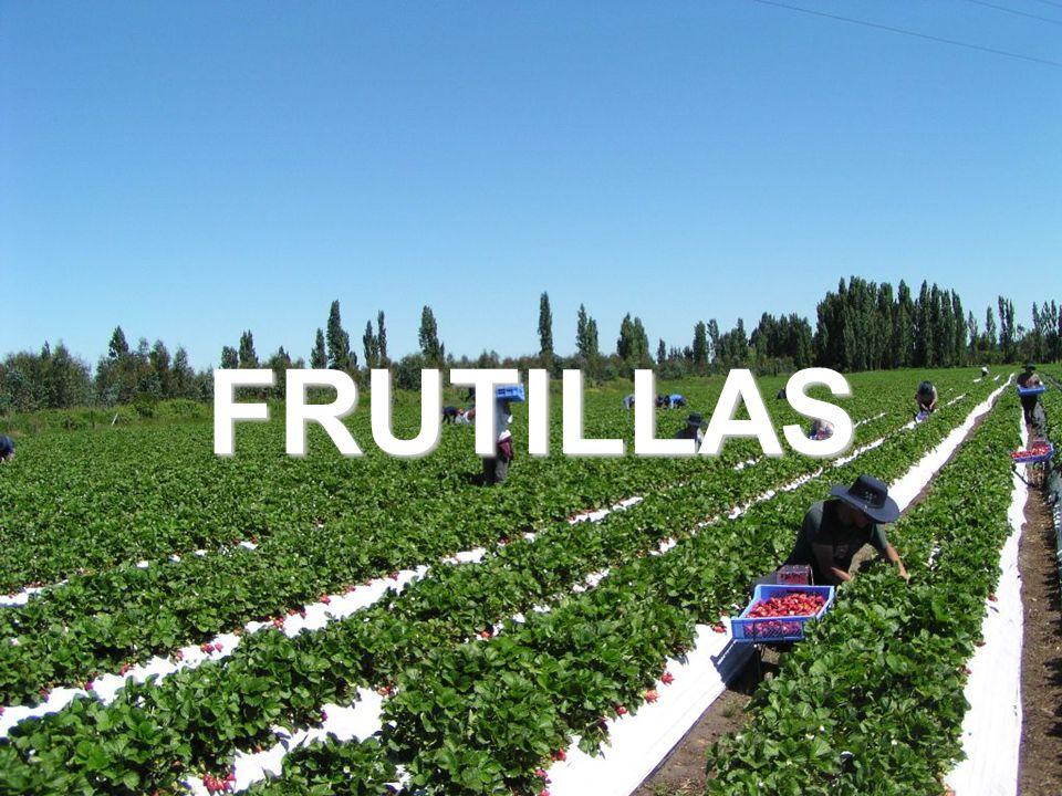 25 FRUTILLAS
