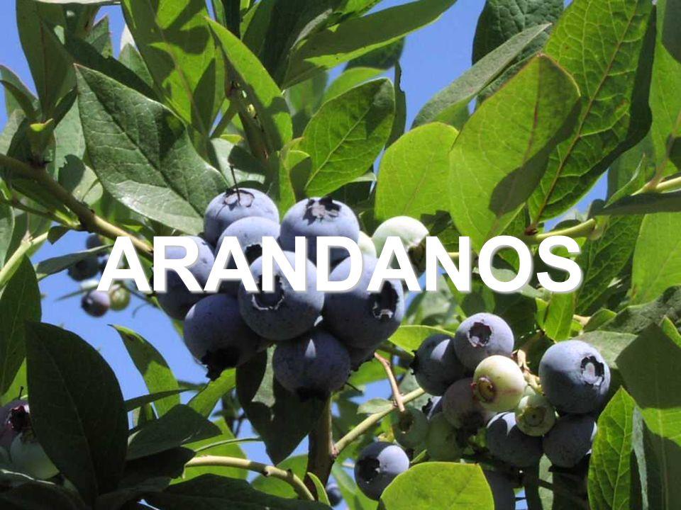 32 ARANDANOS