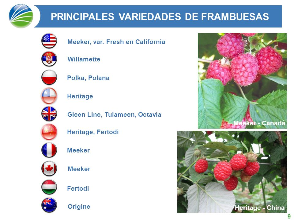 20 DESTINO DE LA PRODUCCION CHILENA DE (MP) FRAMBUESAS EN MT 2004 2005 2006 2007 2008 Total 50.254 62.029 59.800 57.412 49.535 Fuente: Chilealimentos A.G.