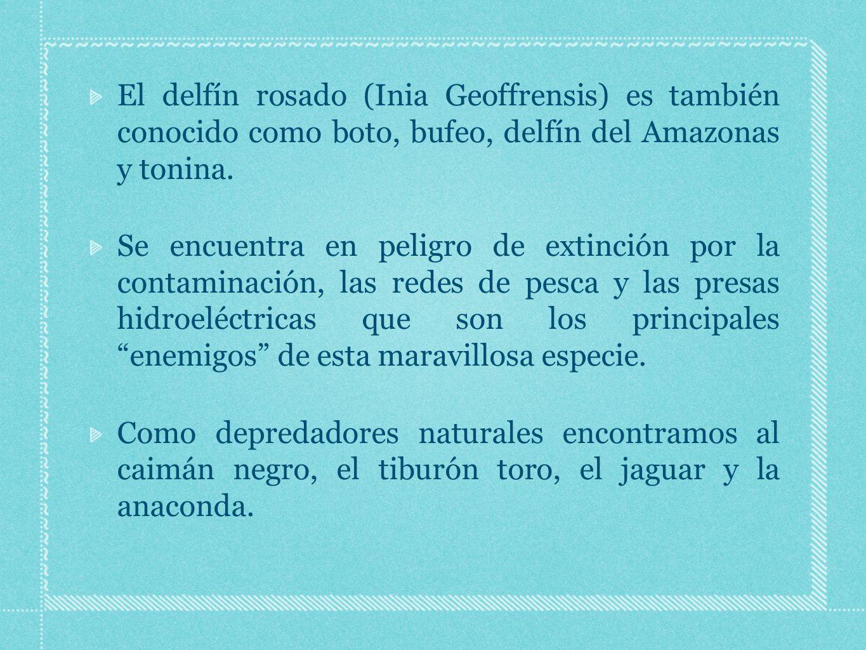 El delfín rosado (Inia Geoffrensis) es también conocido como boto, bufeo, delfín del Amazonas y tonina.