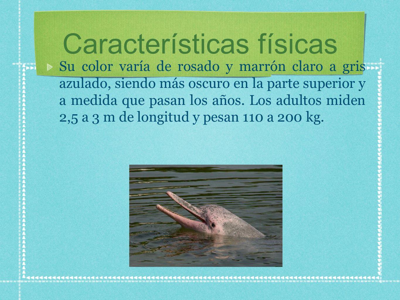 A diferencia de los delfines oceánicos, sus vértebras cervicales no están fundidas, permitiendoles doblar su cuerpo hasta formar un ángulo de 90 grados y teniendo la capacidad de girar la cabeza en cualquier dirección con una amplia gama de movimientos.