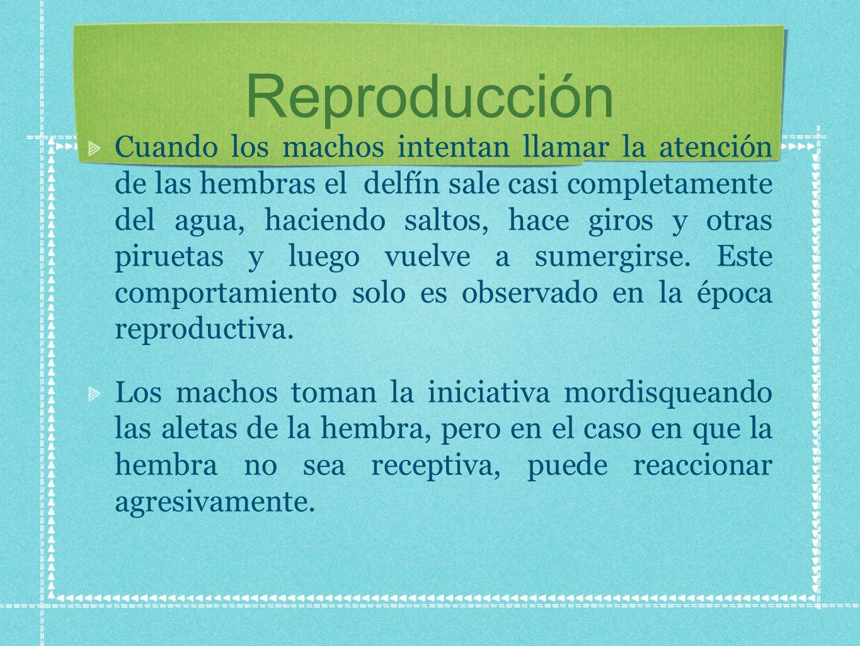 La temporada de reproducción es estacional y los nacimientos ocurren entre mayo y junio.