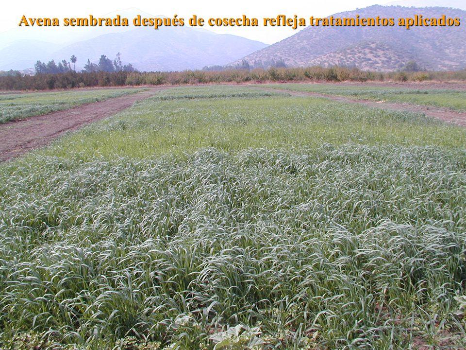 Avena sembrada después de cosecha refleja tratamientos aplicados