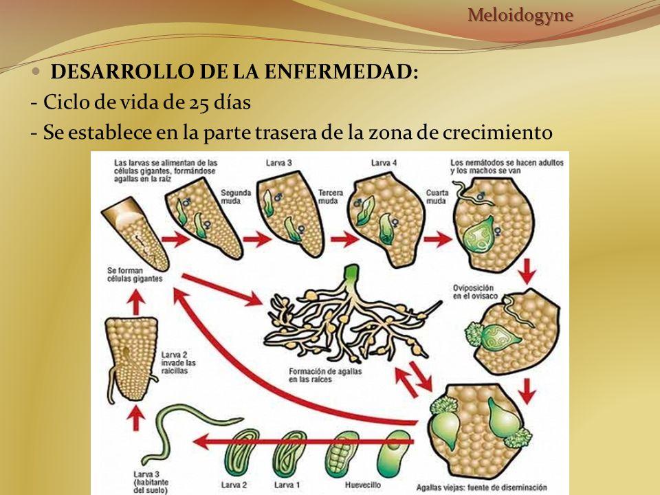 DESARROLLO DE LA ENFERMEDAD: - Ciclo de vida de 25 días - Se establece en la parte trasera de la zona de crecimientoMeloidogyne