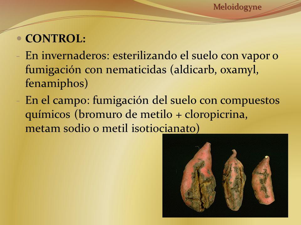CONTROL: - En invernaderos: esterilizando el suelo con vapor o fumigación con nematicidas (aldicarb, oxamyl, fenamiphos) - En el campo: fumigación del