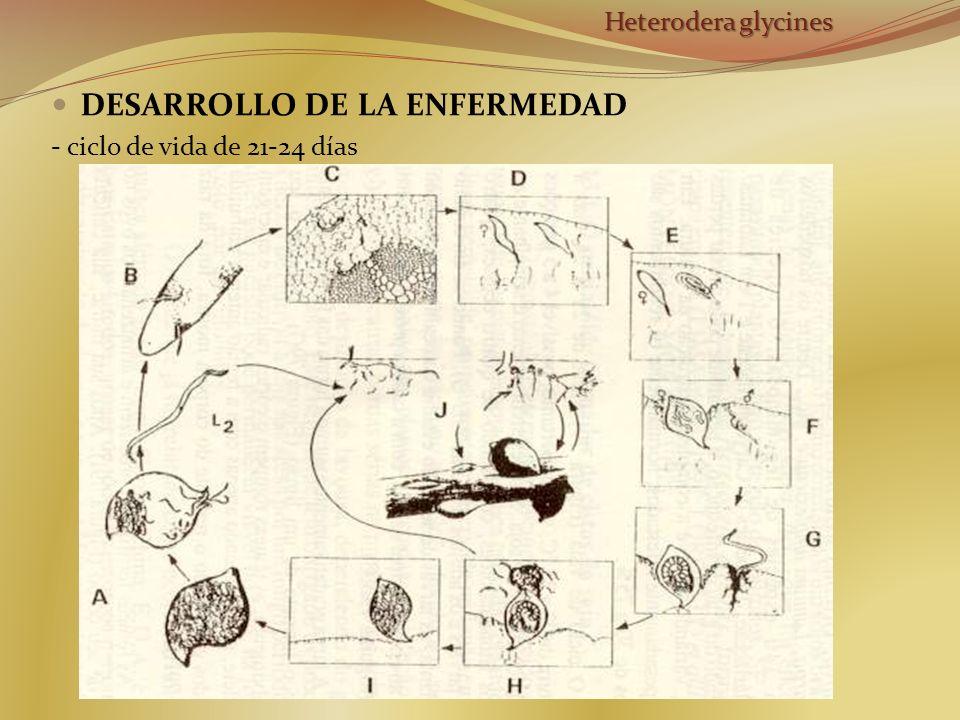 DESARROLLO DE LA ENFERMEDAD - ciclo de vida de 21-24 días Heterodera glycines