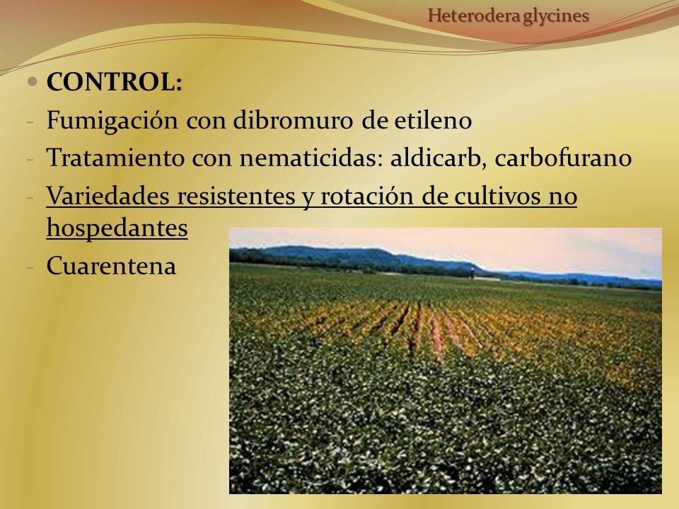 CONTROL: - Fumigación con dibromuro de etileno - Tratamiento con nematicidas: aldicarb, carbofurano - Variedades resistentes y rotación de cultivos no