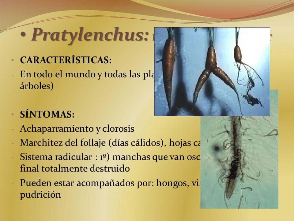 Pratylenchus: nemátodo lesionador Pratylenchus: nemátodo lesionador CARACTERÍSTICAS: - En todo el mundo y todas las plantas (debilita arbustos y árbol