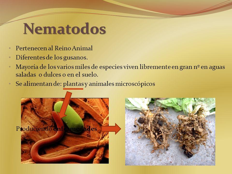 Nematodos Pertenecen al Reino Animal Diferentes de los gusanos. Mayoría de los varios miles de especies viven libremente en gran nº en aguas saladas o