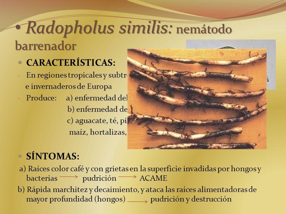 CARACTERÍSTICAS: - En regiones tropicales y subtropicales, e invernaderos de Europa - Produce: a) enfermedad del acame del plátano b) enfermedad del d