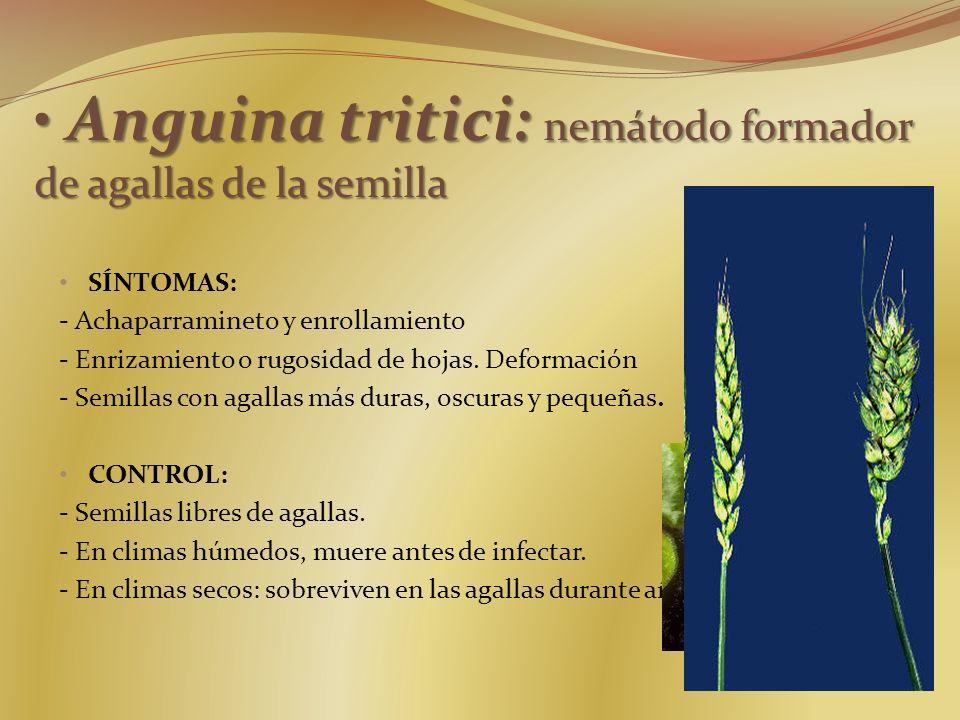 Anguina tritici: nemátodo formador de agallas de la semilla Anguina tritici: nemátodo formador de agallas de la semilla SÍNTOMAS: - Achaparramineto y