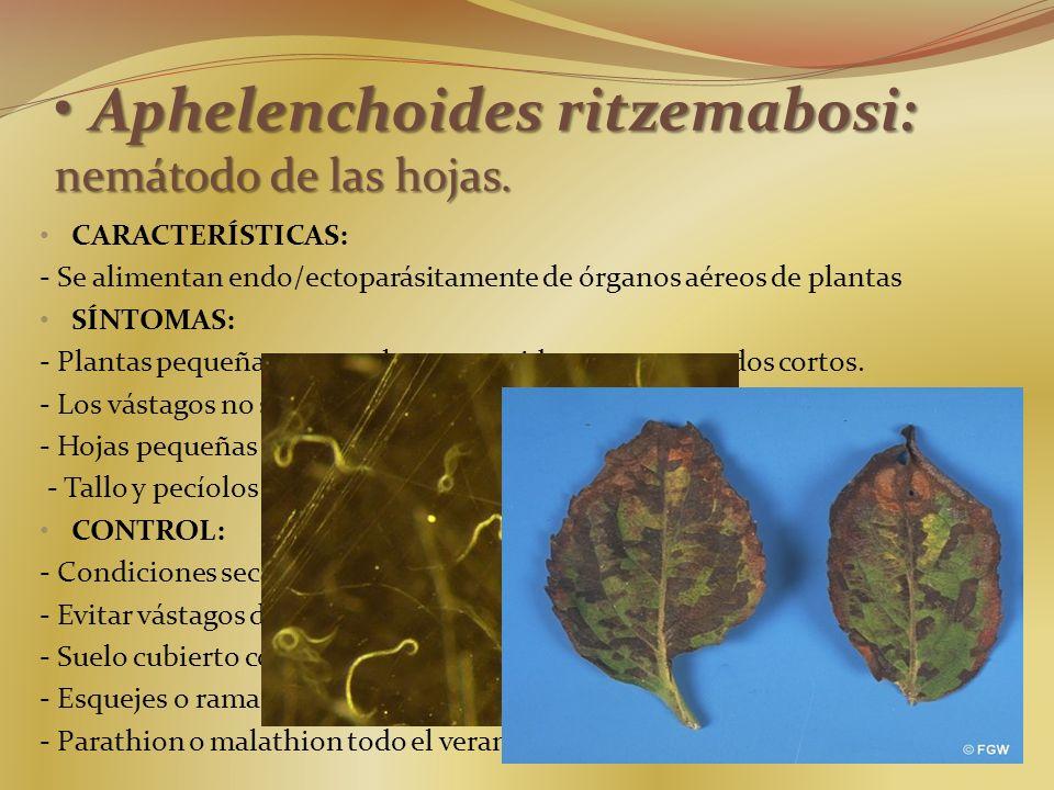 Aphelenchoides ritzemabosi: nemátodo de las hojas. Aphelenchoides ritzemabosi: nemátodo de las hojas. CARACTERÍSTICAS: - Se alimentan endo/ectoparásit