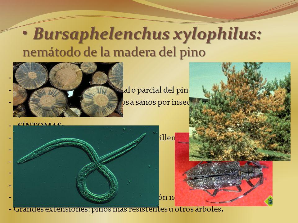 Bursaphelenchus xylophilus: nemátodo de la madera del pino Bursaphelenchus xylophilus: nemátodo de la madera del pino CARACTERÍSTICAS. - Agente causal