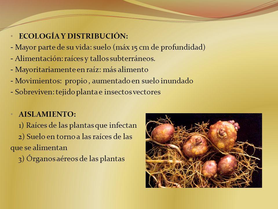 ECOLOGÍA Y DISTRIBUCIÓN: - Mayor parte de su vida: suelo (máx 15 cm de profundidad) - Alimentación: raíces y tallos subterráneos. - Mayoritariamente e