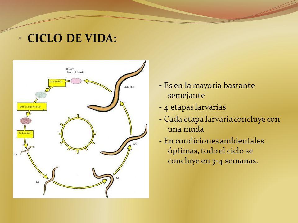 CICLO DE VIDA: - Es en la mayoría bastante semejante - 4 etapas larvarias - Cada etapa larvaria concluye con una muda - En condiciones ambientales ópt