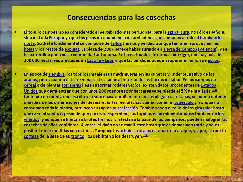 Consecuencias para las cosechas El topillo campesino es considerado el vertebrado más perjudicial para la agricultura, no sólo española, sino de toda