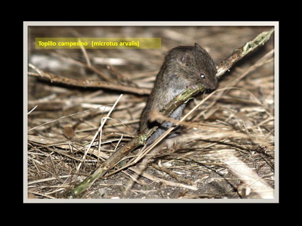 El topillo campesino (microtus arvalis) El topillo campesino de la meseta Norte española es una subespecie ibérica denominada Microtus arvalis asturianus que se distingue de los demás miembros de la especie por rasgos muy leves.