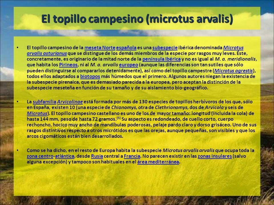 El topillo campesino (microtus arvalis) El topillo campesino de la meseta Norte española es una subespecie ibérica denominada Microtus arvalis asturia