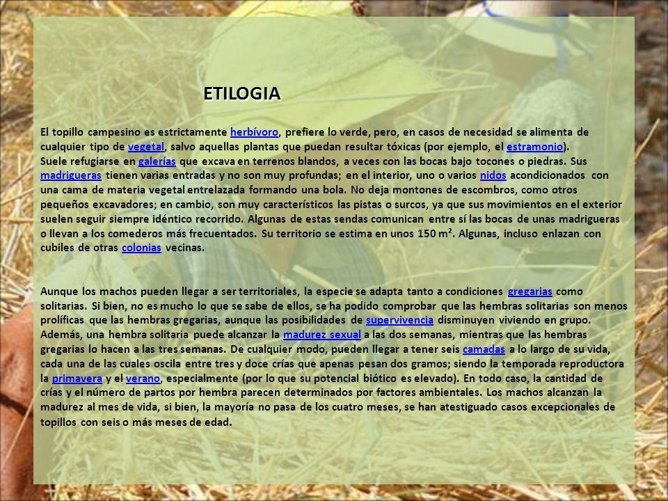 ETILOGIA ETILOGIA El topillo campesino es estrictamente herbívoro, prefiere lo verde, pero, en casos de necesidad se alimenta de cualquier tipo de veg
