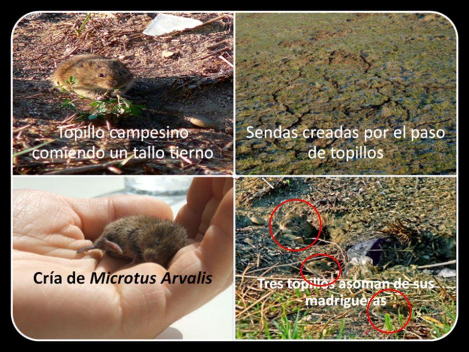 El especialista Ángel María Arenaz, considera posible prever la magnitud demográfica de las plagas de topillos haciendo recuentos invernales.