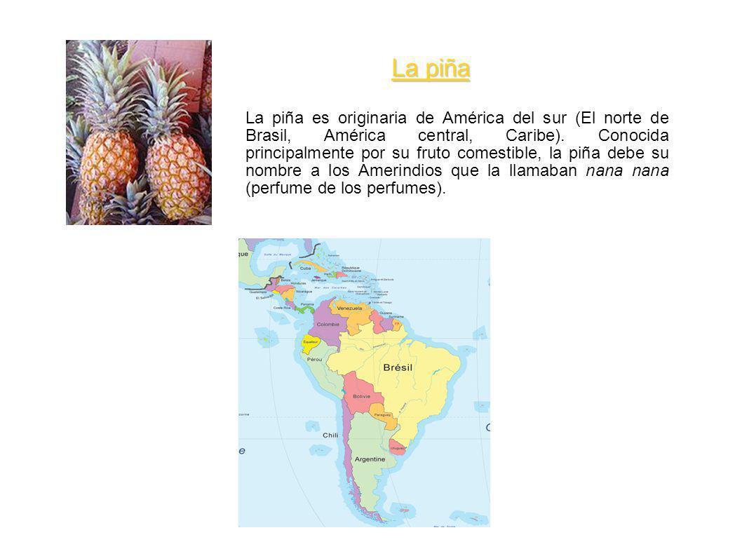 La piña es originaria de América del sur (El norte de Brasil, América central, Caribe). Conocida principalmente por su fruto comestible, la piña debe