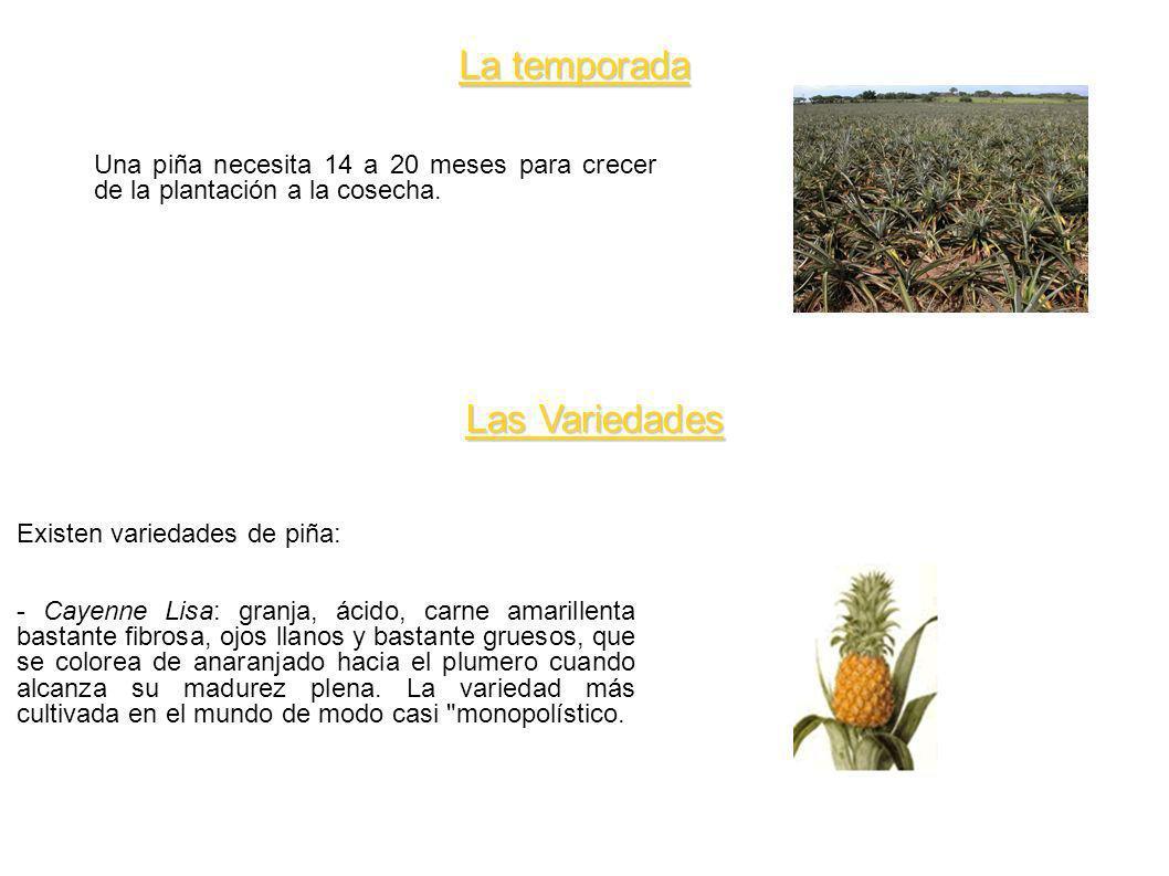 La temporada Una piña necesita 14 a 20 meses para crecer de la plantación a la cosecha. Las Variedades Existen variedades de piña: - Cayenne Lisa: gra