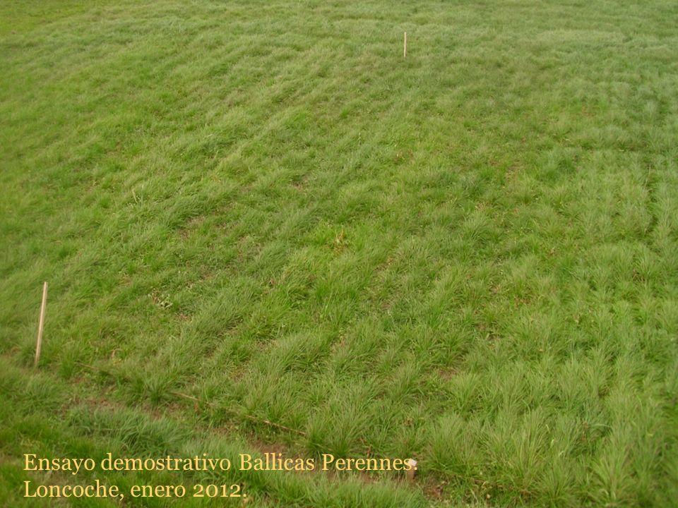 Ensayo demostrativo Ballicas Perennes. Loncoche, enero 2012.