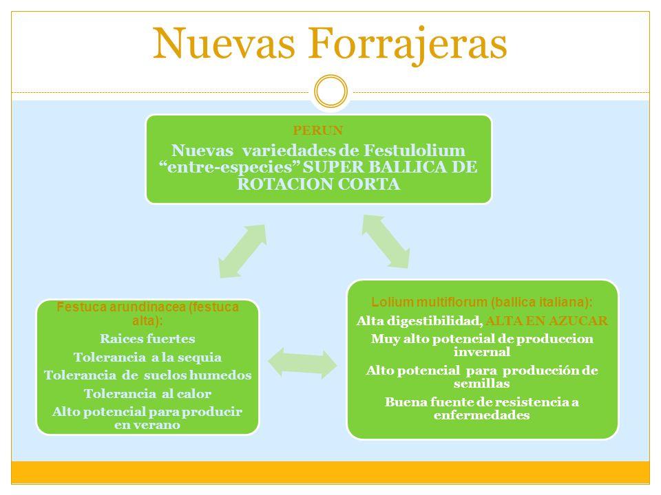 Nuevas Forrajeras PERUN Nuevas variedades de Festulolium entre-especies SUPER BALLICA DE ROTACION CORTA Lolium multiflorum (ballica italiana): Alta di