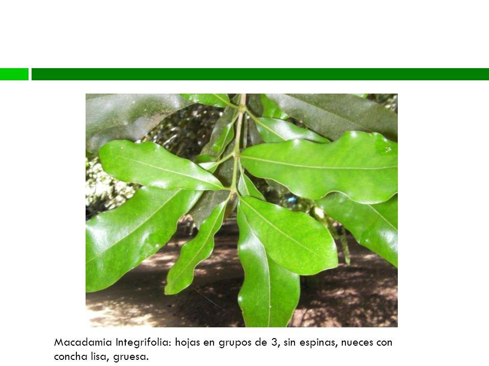 Diversidad Genética Macadamia Integrifolia: hojas en grupos de 3, sin espinas, nueces con concha lisa, gruesa.