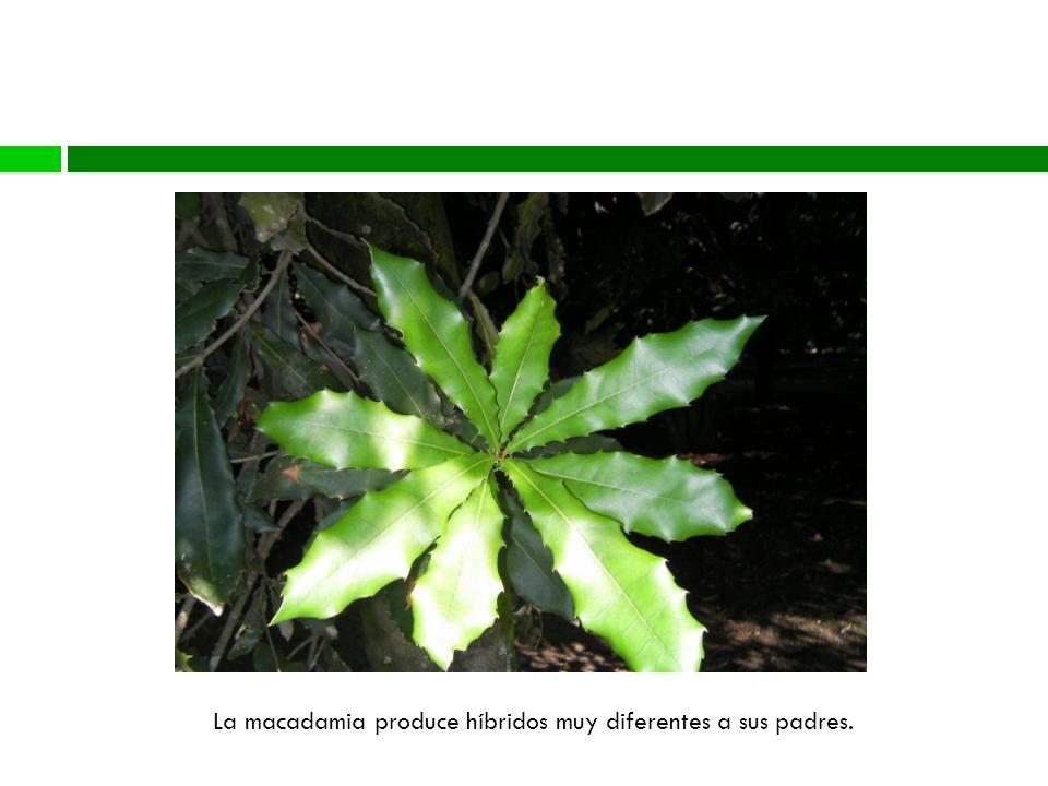 La macadamia produce híbridos muy diferentes a sus padres.
