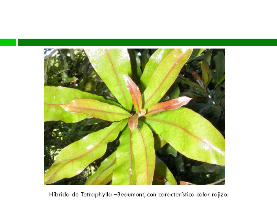 Diversidad Genética Híbrido de Tetraphylla –Beaumont, con característico color rojizo.