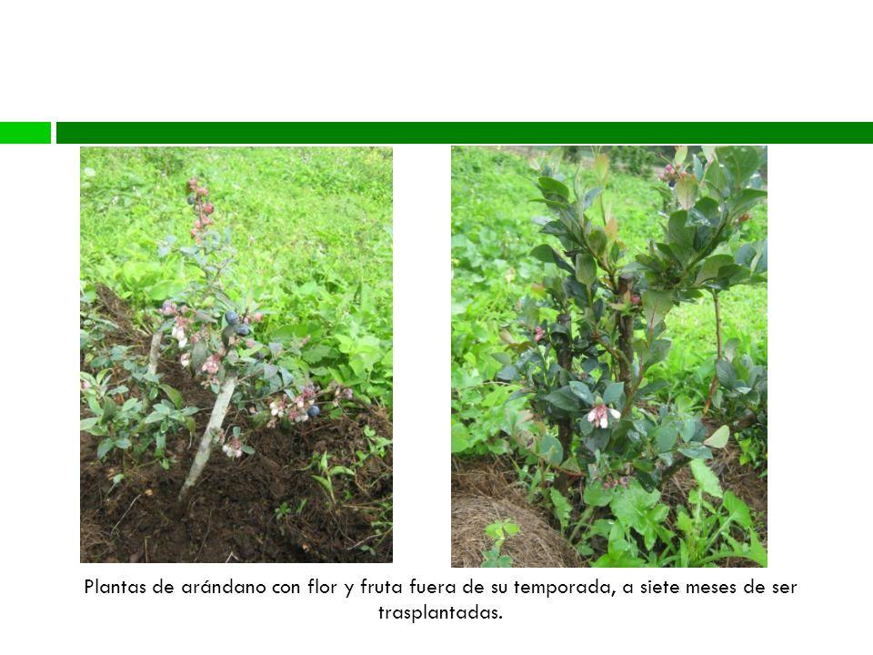 Blueberry Plantas de arándano con flor y fruta fuera de su temporada, a siete meses de ser trasplantadas.