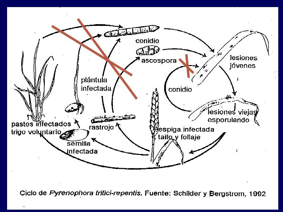 Ciclo: Primario: inóculo proviene de fuera del cultivo o de otra temporada.