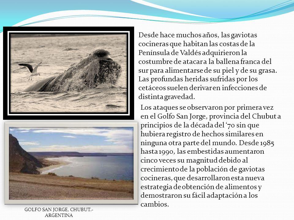 Los ataques se observaron por primera vez en el Golfo San Jorge, provincia del Chubut a principios de la década del 70 sin que hubiera registro de hec