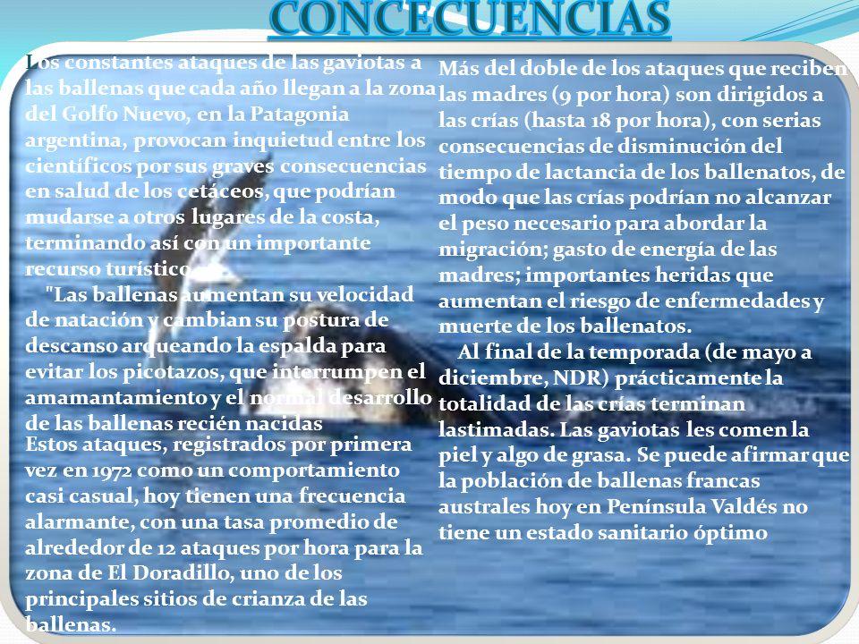 Los constantes ataques de las gaviotas a las ballenas que cada año llegan a la zona del Golfo Nuevo, en la Patagonia argentina, provocan inquietud ent