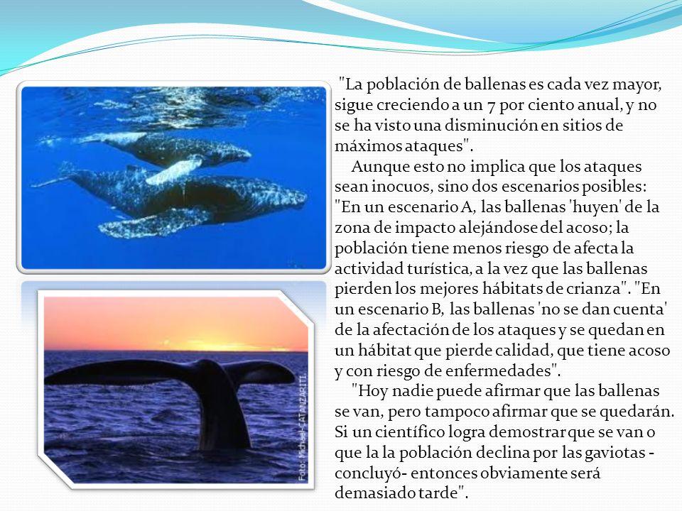 La población de ballenas es cada vez mayor, sigue creciendo a un 7 por ciento anual, y no se ha visto una disminución en sitios de máximos ataques .