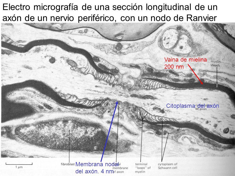 Electro micrografía de una sección longitudinal de un axón de un nervio periférico, con un nodo de Ranvier Vaina de mielina 200 nm Membrana nodal del axón.