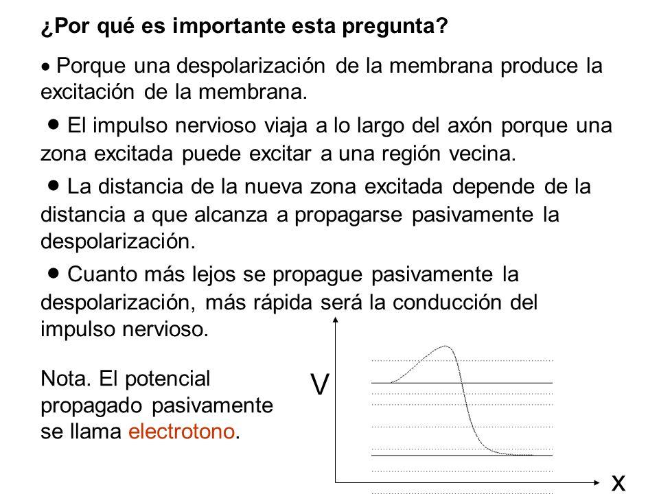¿Por qué es importante esta pregunta? Porque una despolarización de la membrana produce la excitación de la membrana. El impulso nervioso viaja a lo l
