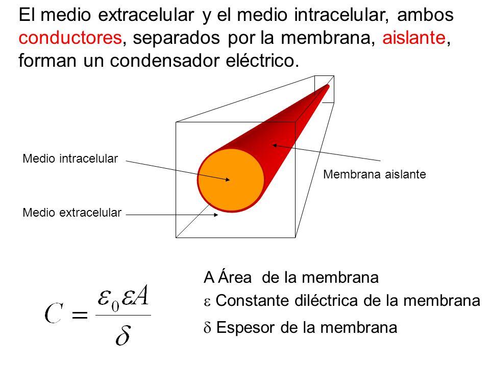 El medio extracelular y el medio intracelular, ambos conductores, separados por la membrana, aislante, forman un condensador eléctrico. Medio extracel