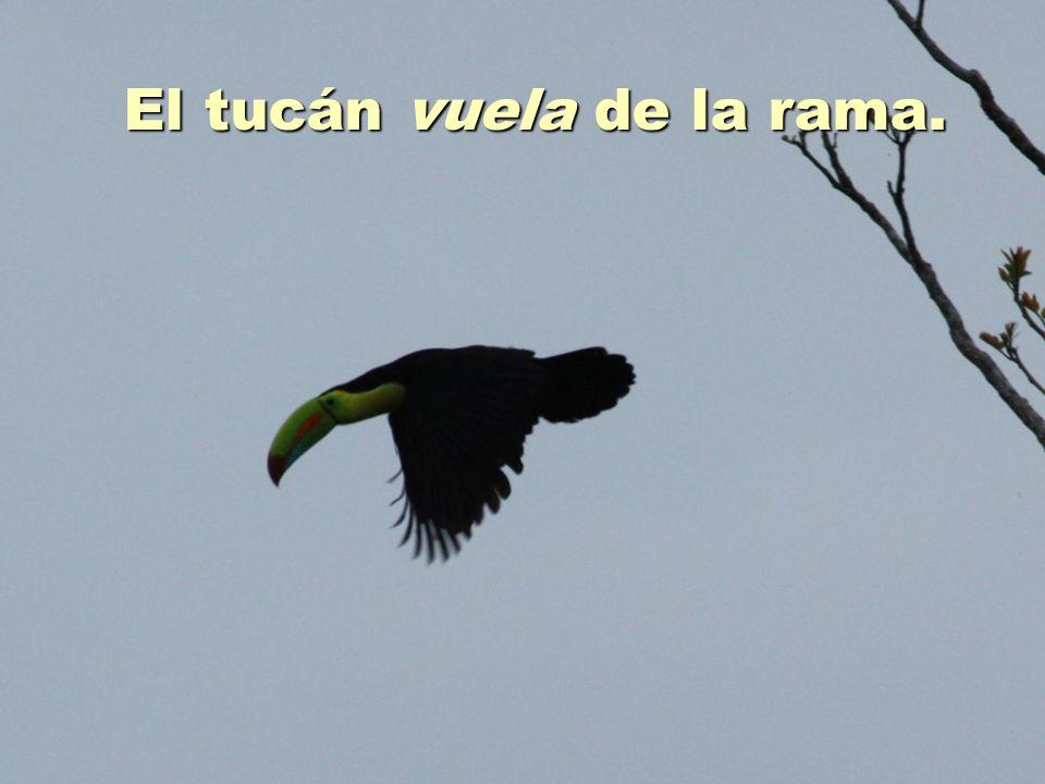 El tucán vuela de la rama.