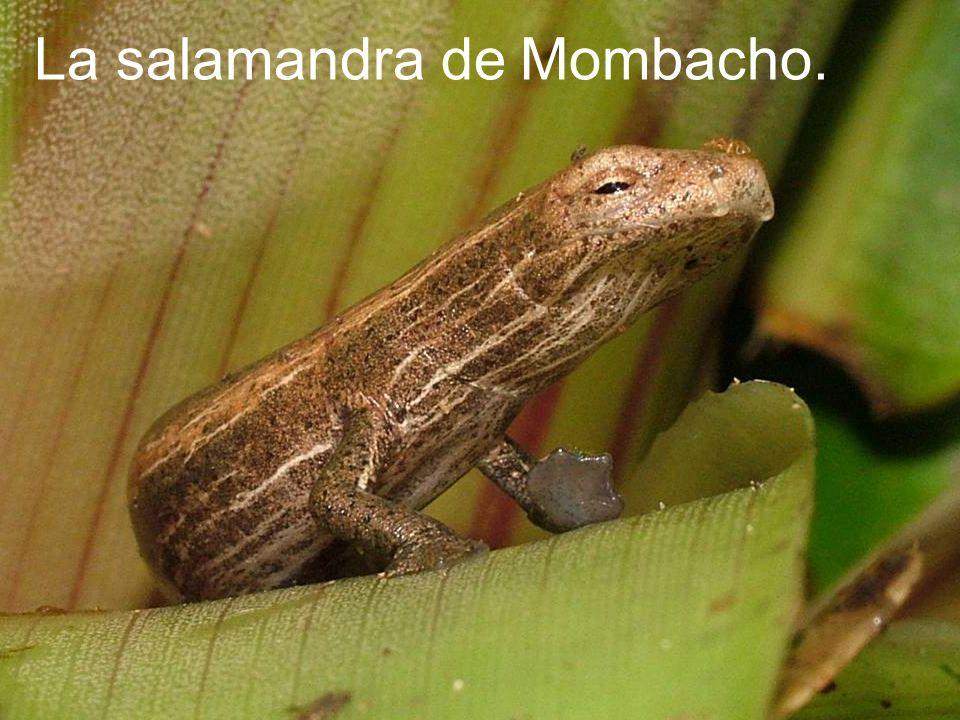 La salamandra de Mombacho.