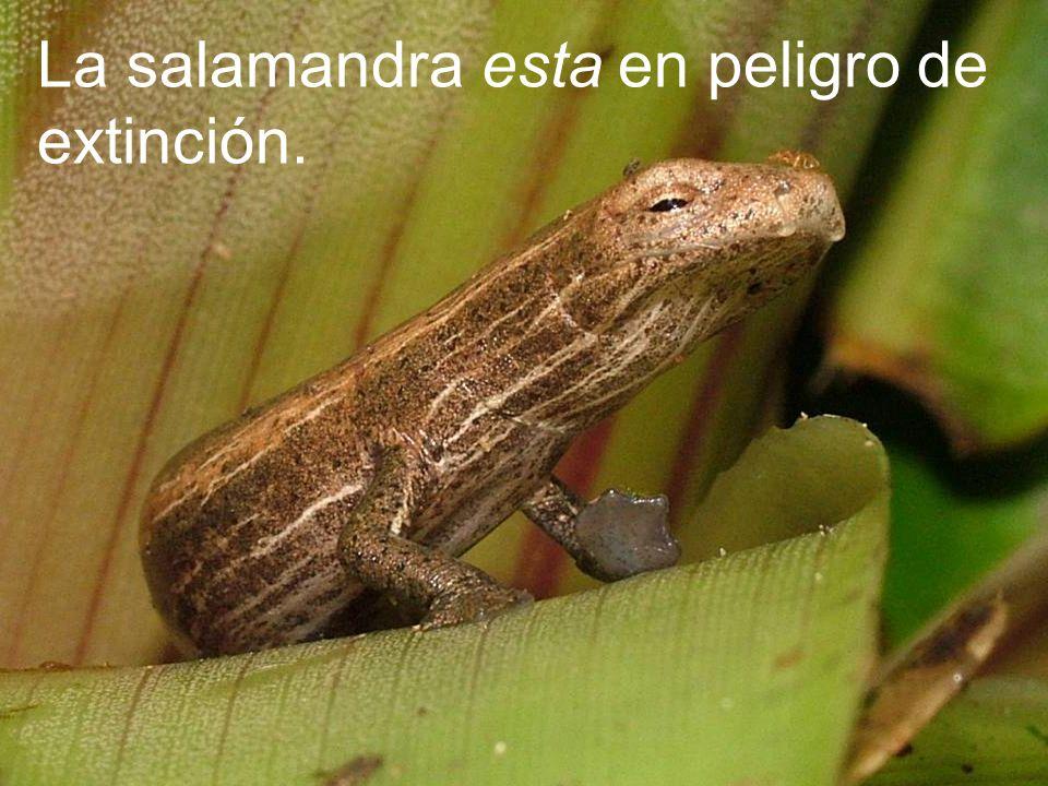 La salamandra esta en peligro de extinción.