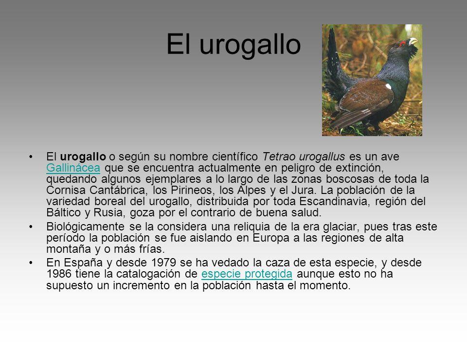 El urogallo El urogallo o según su nombre científico Tetrao urogallus es un ave Gallinácea que se encuentra actualmente en peligro de extinción, queda