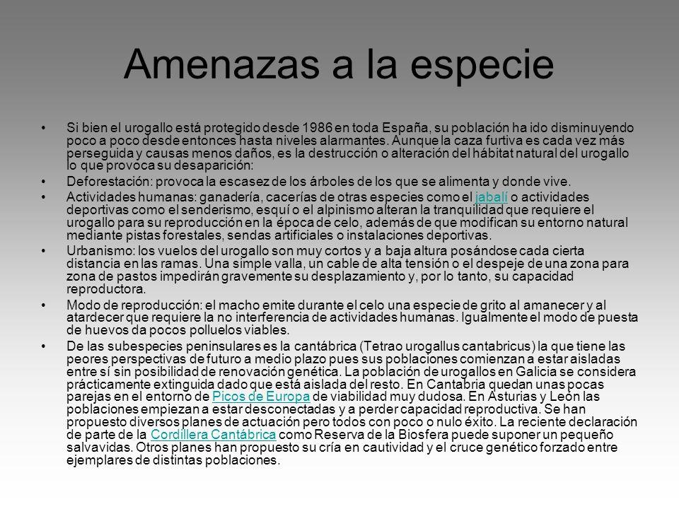 Amenazas a la especie Si bien el urogallo está protegido desde 1986 en toda España, su población ha ido disminuyendo poco a poco desde entonces hasta
