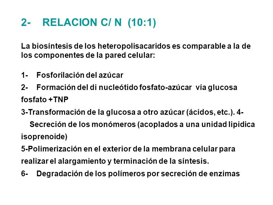 2- RELACION C/ N (10:1) La biosíntesis de los heteropolisacaridos es comparable a la de los componentes de la pared celular: 1- Fosforilación del azúcar 2- Formación del di nucleótido fosfato-azúcar vía glucosa fosfato +TNP 3-Transformación de la glucosa a otro azúcar (ácidos, etc.).
