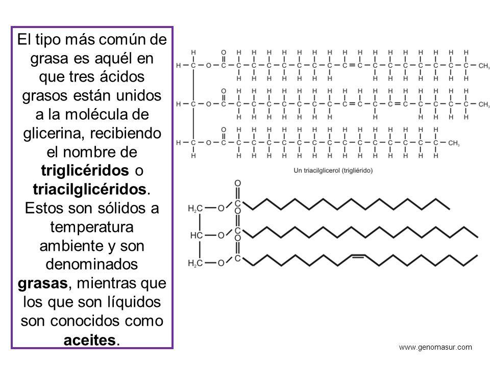 El tipo más común de grasa es aquél en que tres ácidos grasos están unidos a la molécula de glicerina, recibiendo el nombre de triglicéridos o triacil