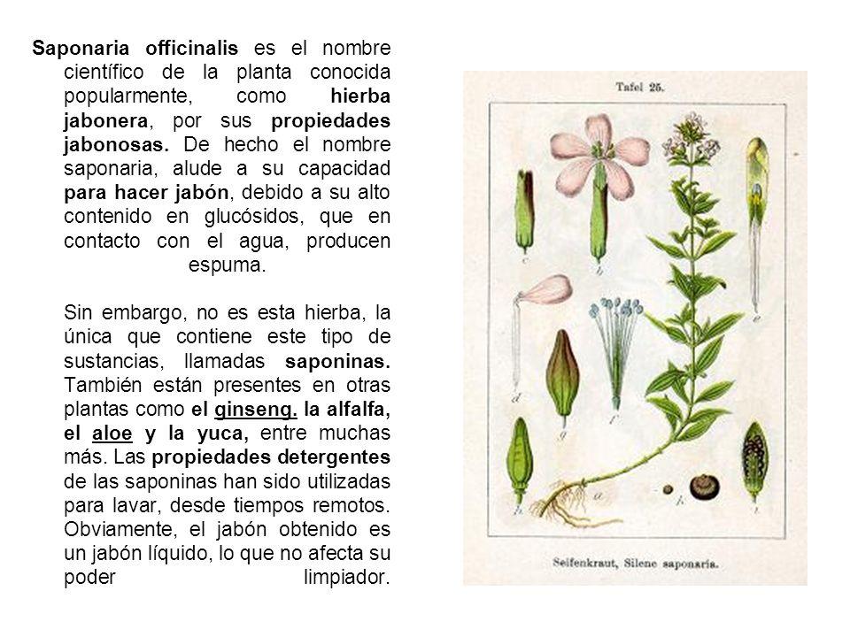 Saponaria officinalis es el nombre científico de la planta conocida popularmente, como hierba jabonera, por sus propiedades jabonosas. De hecho el nom
